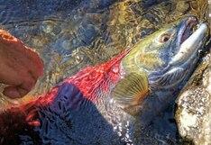 El esfuerzo titánico de unos salmones para cruzar un camino inundado con el objetivo de reproducirse